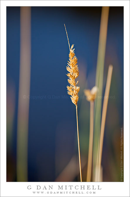 Cattail and Grasses, Morning Light
