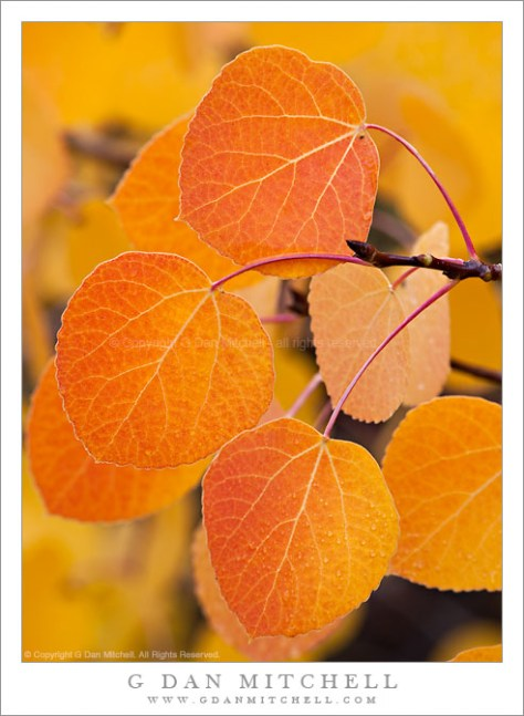 Fall Aspen Leaves, Sierra Nevada