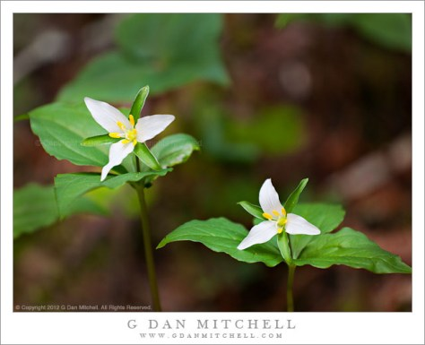 Two Trillium Blossoms - Two trillium blossoms in the redwood forests of the Golden Gate National Recreation Area, California
