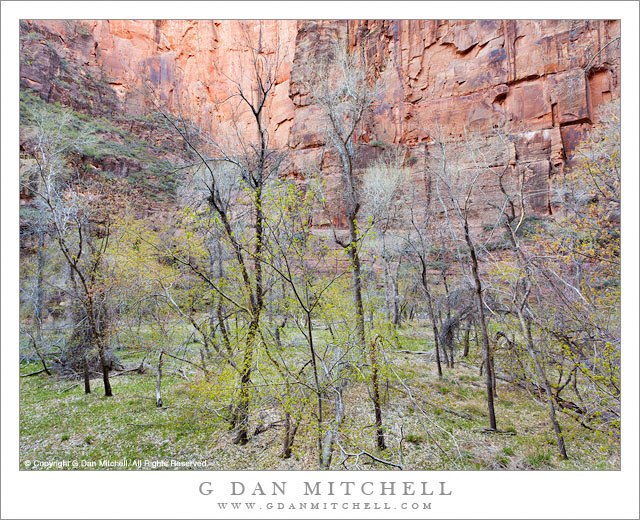 Spring Cottonwoods, Zion Canyon - New spring leaves appear on cottonwood trees along the Virgin River in Zion Canyon, Zion National Park.
