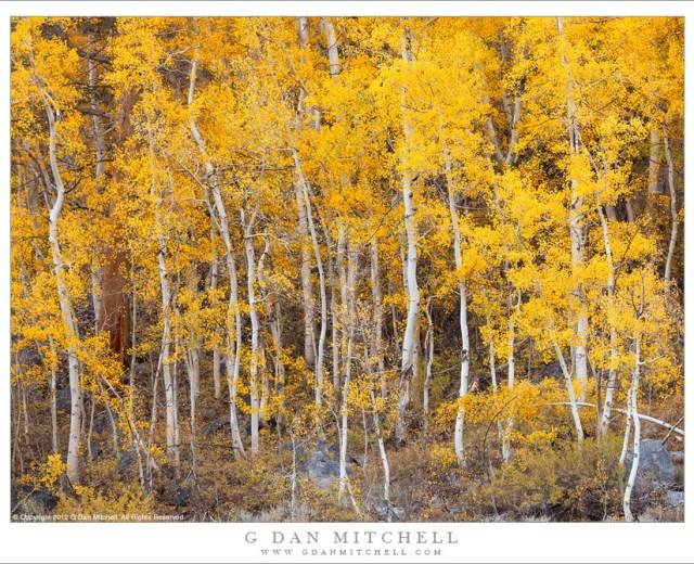 Aspen Grove Below South Lake - A dense aspen grove in full fall color near South Lake in the Bishop Creek drainage