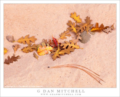 Autumn Leaves, Sand - Autumn oak and box elder leaves lie on the pink sand in the bottom of a wash, Zion National Park