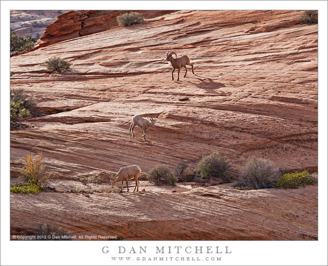Three Bighorn Sheep - Three bighorn sheep grazing in an area of sandstone slabs, Zion National Park