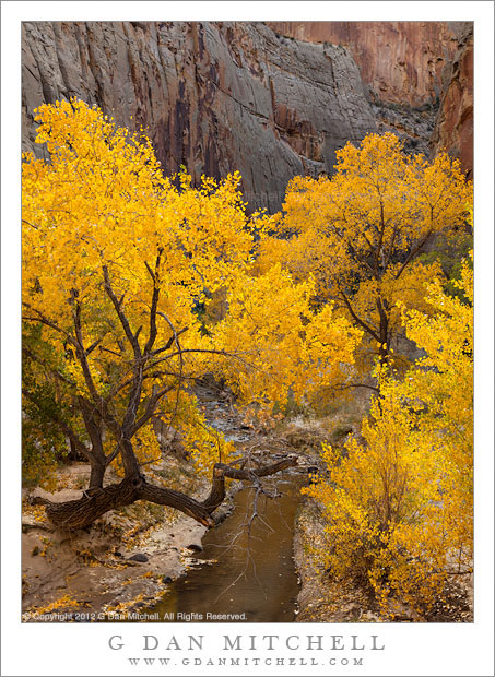 Escalante River, Cottonwood Trees, Autumn - Large cottonwood trees with autumn leaves along the Escalante River, Utah
