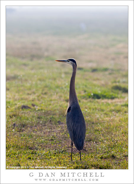 Great Blue Heron, Foggy Pasture - A long great blue heron overlooks a pasture in clearing fog, Merced National Wildlife Refuge, California