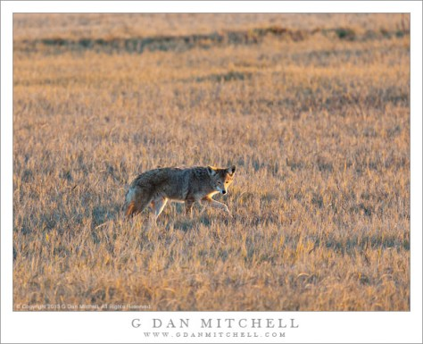 Coyote On the Hunt, San Joaquin Valley