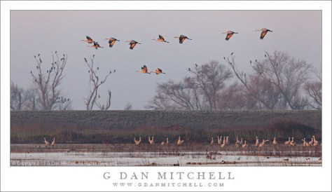 Sandhill Cranes, Fog and Trees