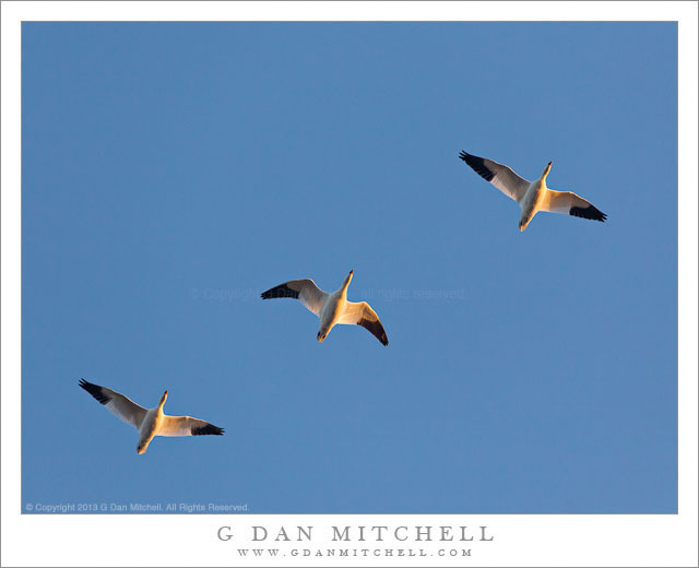 Three Ross's Geese, Blue Sky