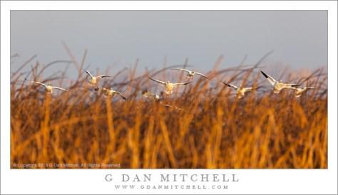 Geese Landing in Grass