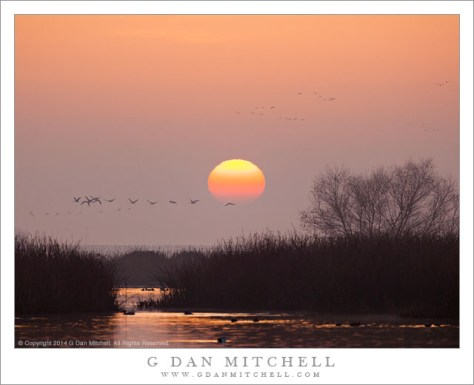 Sandhill Cranes, Marsh, Dawn