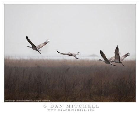 Four Sandhill Cranes