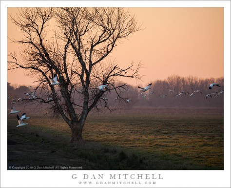 Geese, Tree, Dusk