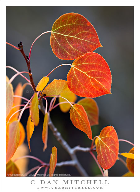 Red and Orange Aspen Leaves