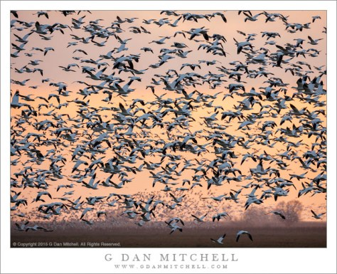 Geese in Flight, Dusk
