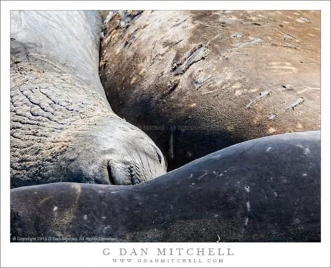 Sleeping Elephant Seal