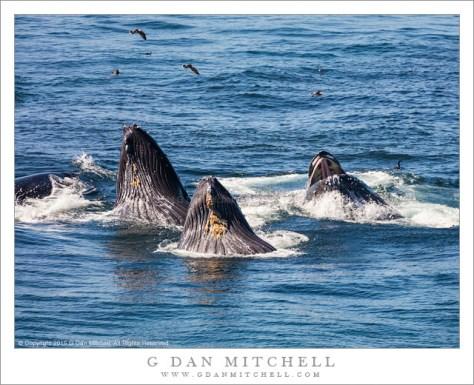 Bubble-Feeding Humpback Whales