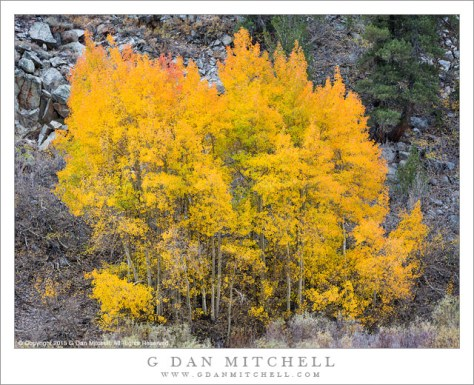 Aspen Trees, Near-Peak Color