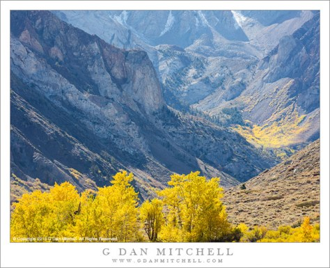 Cottonwood and Aspen, Autumn, Eastern Sierra