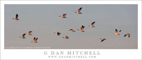 Snow Geese, Sunset Light
