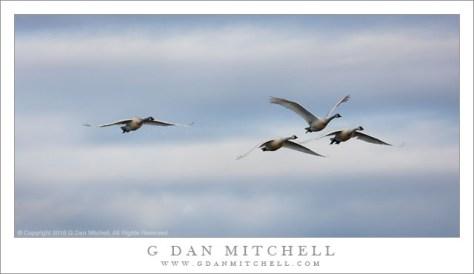 Tundra Swans, Winter Sky