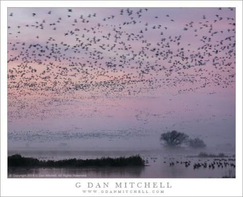 Geese, Dawn Sky, Fog