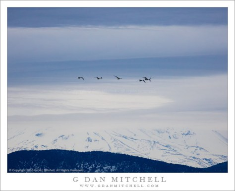 Tundra Swans, Mount Shasta, Winter