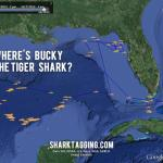 Adopt a shark and track it in Google Earth
