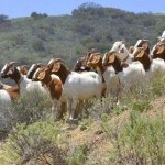 Using Google Earth and goats to combat wildfires.