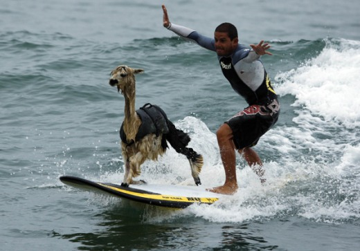 This my friends is a surfing Alpaca Llama!