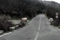 animali sulla strada calabria