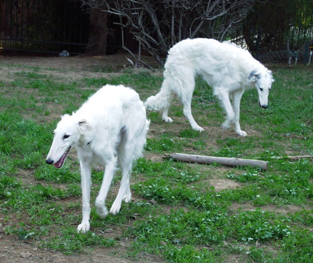 Image For Borzoi Puppies Available