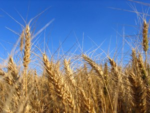 photo of wheat in the field