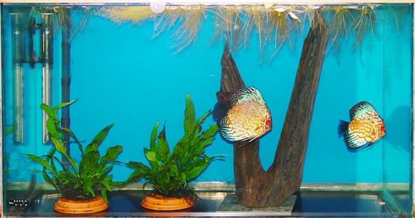 29 Gallon Aquarium Discus fish tank