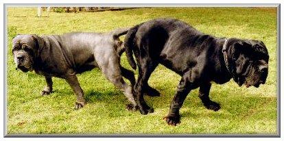 Image For Neapolitan Mastiff Pictures