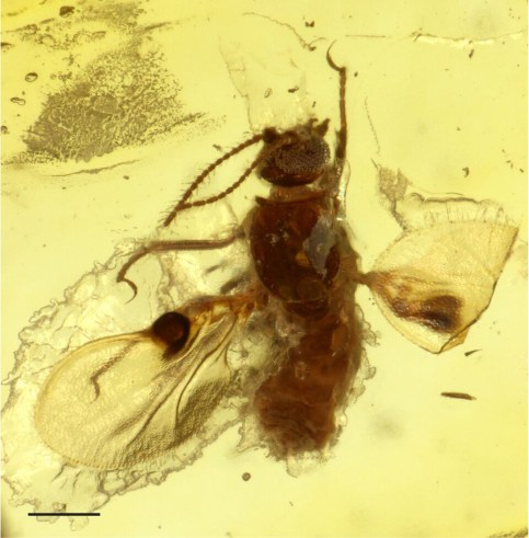 "The biting midge is encased in amber: The ""pockets"", which presumably served as pheromone evaporators, can be seen as dark dots on the wings. Credit: Frauke Stebner/Steinmann Institute, Uni Bonn"
