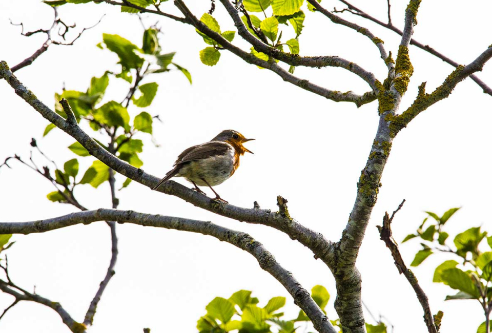 Robin-red-breast-singing