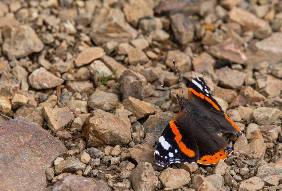 Wildlife-photography-red-admiral-butterfly