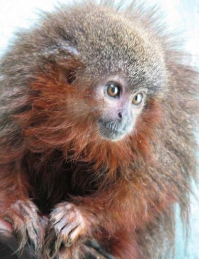 mırlayan maymun-gerçek bilim