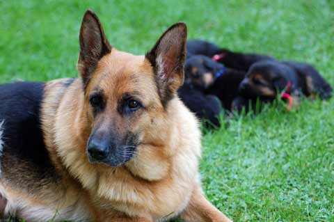 German Shepherd Growth Chart / Puppy Growth Rate and Weight