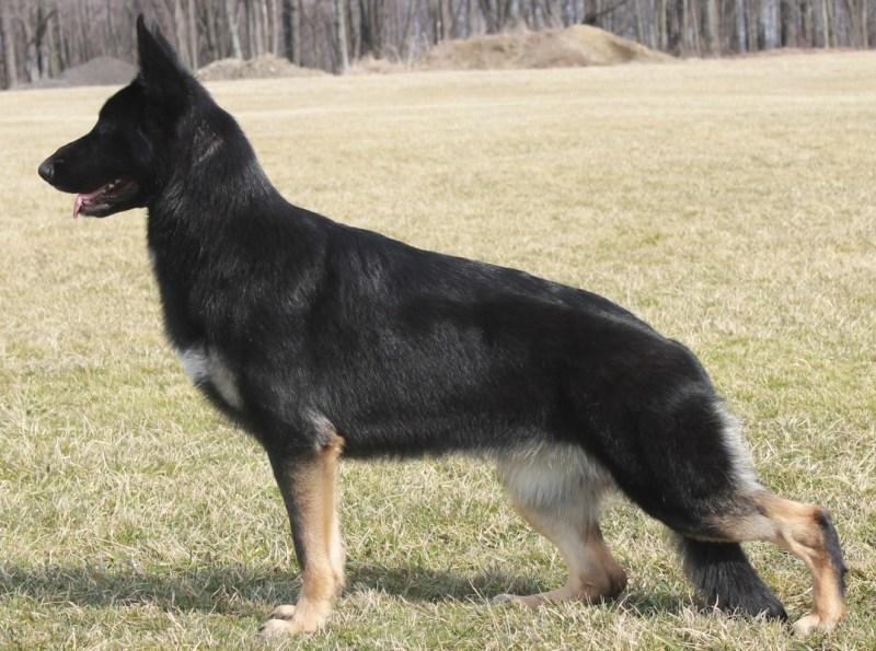 Large Of Short Spine Dog