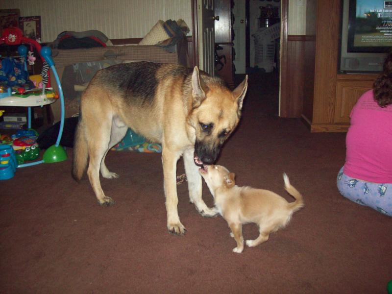 Is there a Height X Weight GSD growth chart? - German Shepherd Dog