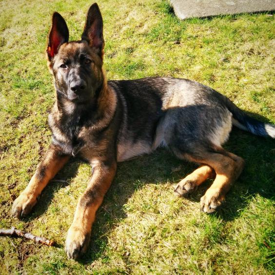 GSD Puppy Growth Charts - German Shepherd Dog Forums