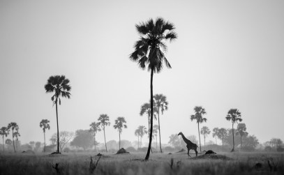 The vlei areas in Hwange National Park are scattered with ilala palms (Hyphaene petersiana). They form a beautiful backdrop compared to the arid bushveld savannah. It was early one morning that I drove through the Mbiza area, hoping to find some sort of subject, when in the distance a lone giraffe came strolling by. It was just the perfect element I needed to complement my image. It is a surreal image, impressionistic of a tropical island rather than the African plains. The black and white conversion completed the image, highlighting the individual elements. - By Johann Mader, Pretoria. Nikon D700, Nikko 500mm f/4ISO 200, f/4, 1/8000 sec.