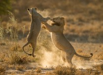 A male and female lion were play-fighting, causing backlit dust to rise around them, after a kill that they had made about 800m from the Twee Rivieren gate in the Kgalagadi Transfrontier Park. The remains of the springbok kill is visible in the grass on the left. - By Jaco Marx, Bethlehem Canon 1Dx, Canon 500mm f/4L, ISO 1000, f/4.5, 1/6400 sec