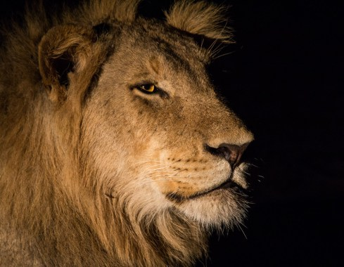 We were in Sabi Sands game reserve, Mpumalanga, on a night drive when we come across a pride of lion. This male lion was gazing thoughtfully at something that he had heard off in the distance. I took this photo handheld. - By Leander de Koker, Kempton Park Canon 60D, Canon 100-400mm f/5.6, ISO 1600, f/5.6, 1/100 sec