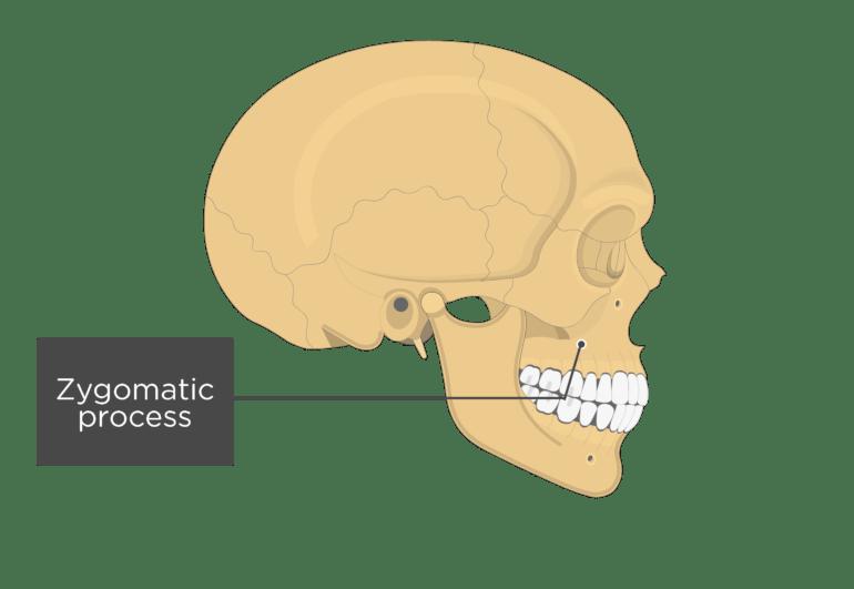 Maxilla Bone Anatomy