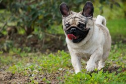 Small Of Reverse Sneeze In Dogs