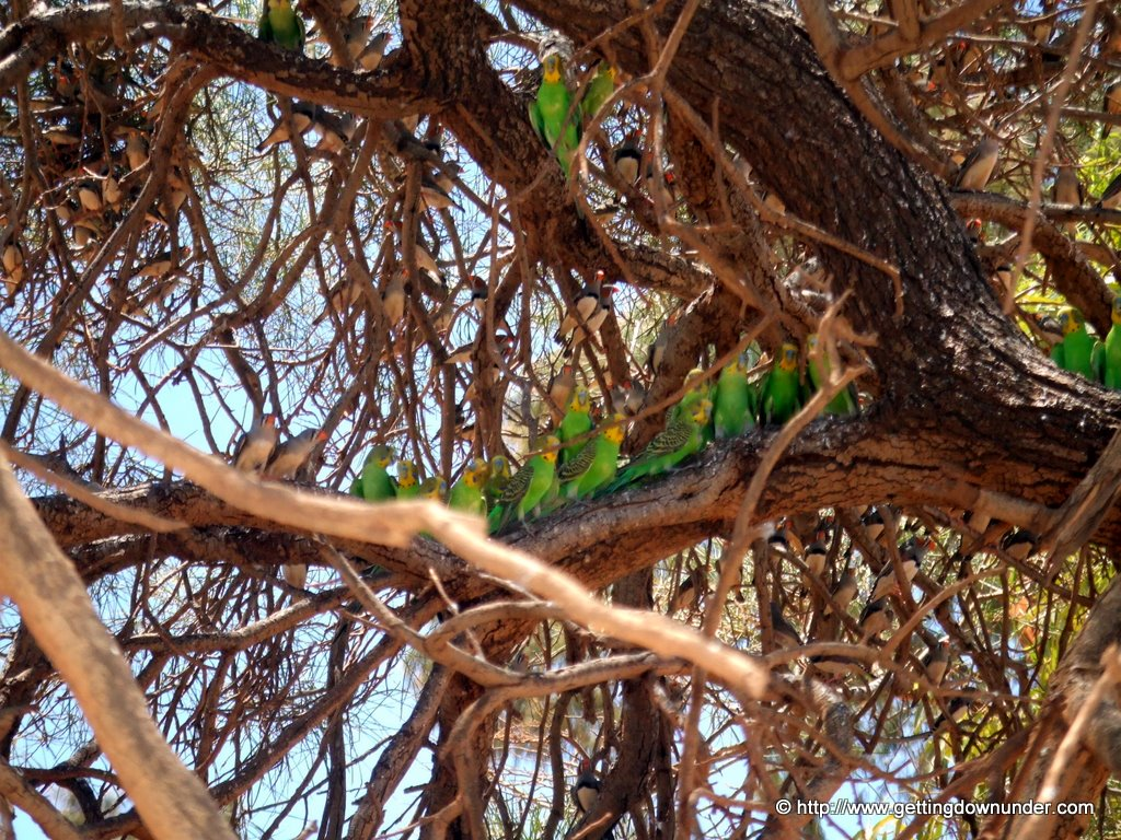 Budgies and Zebra Finches in Western Australia