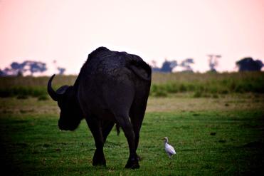Büffel und Kuhreiher