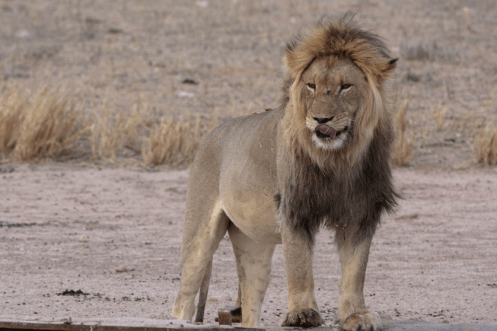 Löwe im Kgalagadi Transfrontier National Park